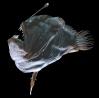 Melanocetus johnsonii pareja
